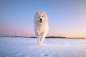 samoyed running in snow | Ultimate Pet Nutrition