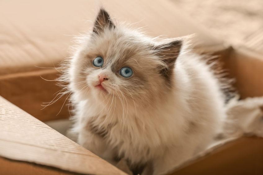 kitten in cardboard box | Ultimate Pet Nutrition