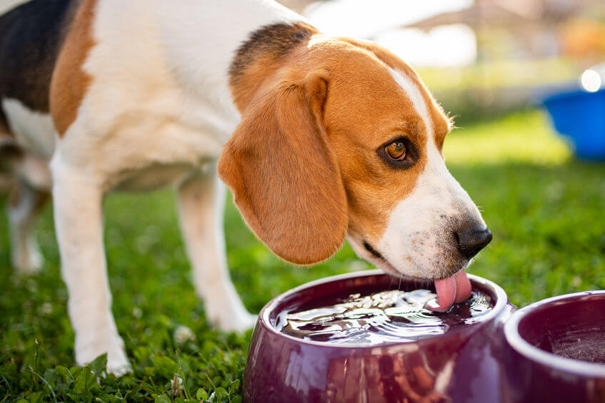 dog drinking water | Ultimate Pet Nutrition