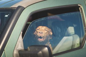 dog in car | Ultimate Pet Nutrition