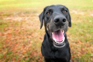 black lab mix | Ultimate Pet Nutrition