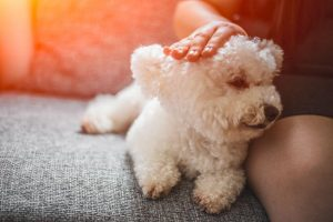 bichon frise | Ultimate Pet Nutrition