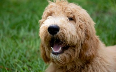 Goldendoodle 101: Info For The Dog Parent To-Be