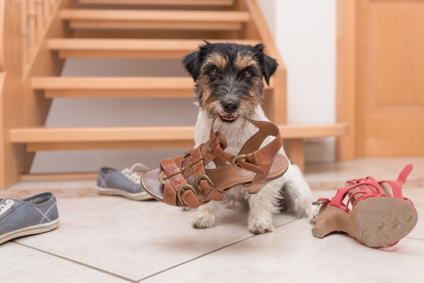 puppy chewing shoes | Ultimate Pet Nutrition