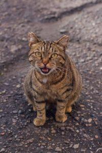 vocalizing cat | Ultimate Pet Nutrition