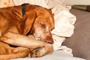 old tired dog | Ultimate Pet Nutrition