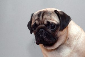 sad scared pug | Ultimate Pet Nutrition