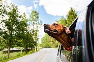 dog enjoying car ride | Ultimate Pet Nutrition