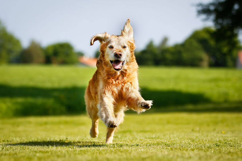dog running | Ultimate Pet Nutrition