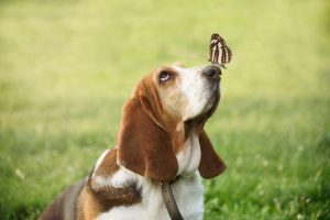 beagle and butterfly | Ultimate Pet Nutrition