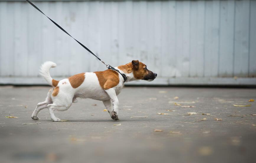 dog pulling leash | Ultimate Pet Nutrition