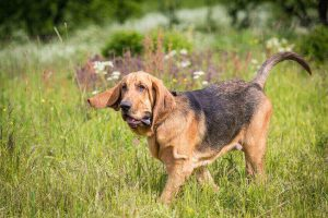 why do dogs howl   Ultimate Pet Nutrition