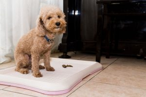 dog using potty pan | Ultimate Pet Nutrition