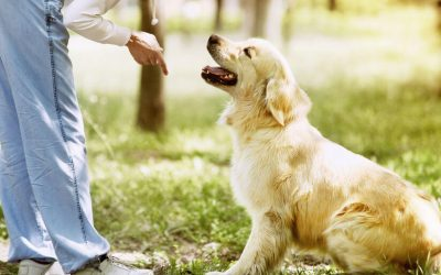 Puppy Training Classes And Obedience Training For Adult Dogs: Where To Start