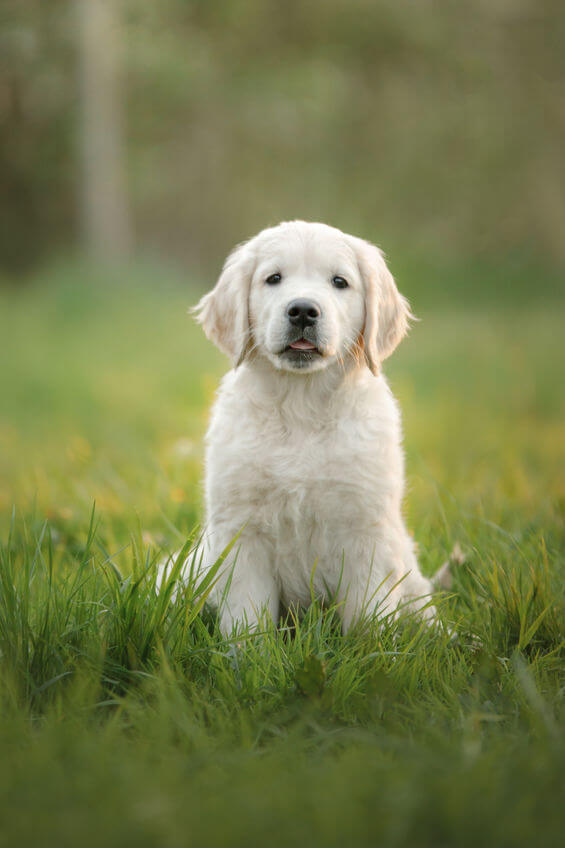 trained golden retriever puppies | Ultimate Pet Nutrition