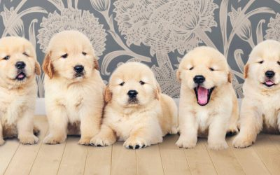 How To Start Training A Golden Retriever Puppy: Tips And Advice