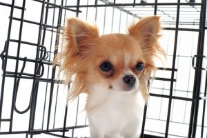 chihuahua in crate | Ultimate Pet Nutrition