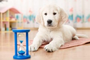 training a golden retriever | Ultimate Pet Nutrition