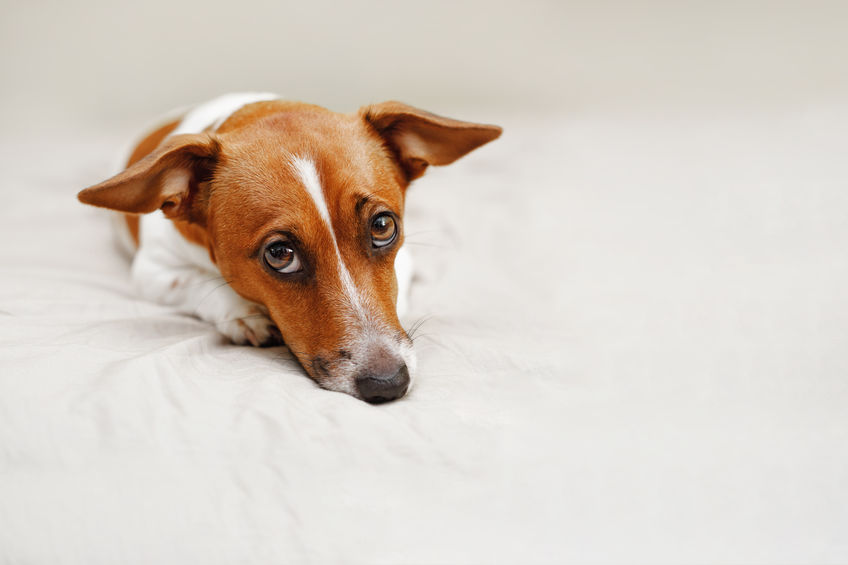 sad jack russell dog | Ultimate Pet Nutrition
