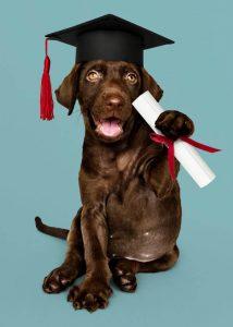 chocolate lab graduate | Ultimate Pet Nutrition
