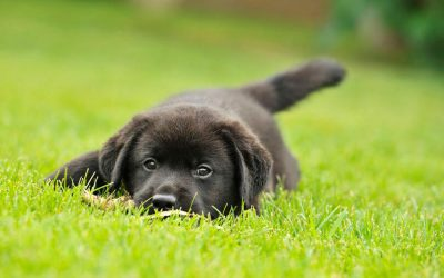 Labrador Puppy Training Tips And Guide