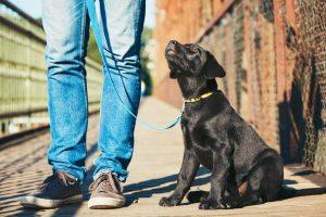 labrador on leash | Ultimate Pet Nutrition