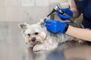 dog ear exam | UPN