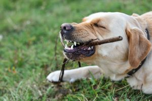 dog chewing wood | Ultimate Pet Nutrition