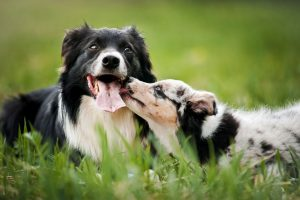 dogs playing | Ultimate Pet Nutrition