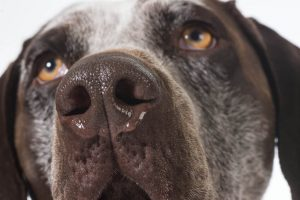 dog wheezing causes | Ultimate Pet Nutrition