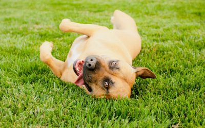 How To Teach A Dog To Roll Over: Step By Step Guide