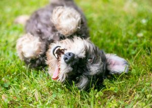 how to teach a dog to roll over   Ultimate Pet Nutrition